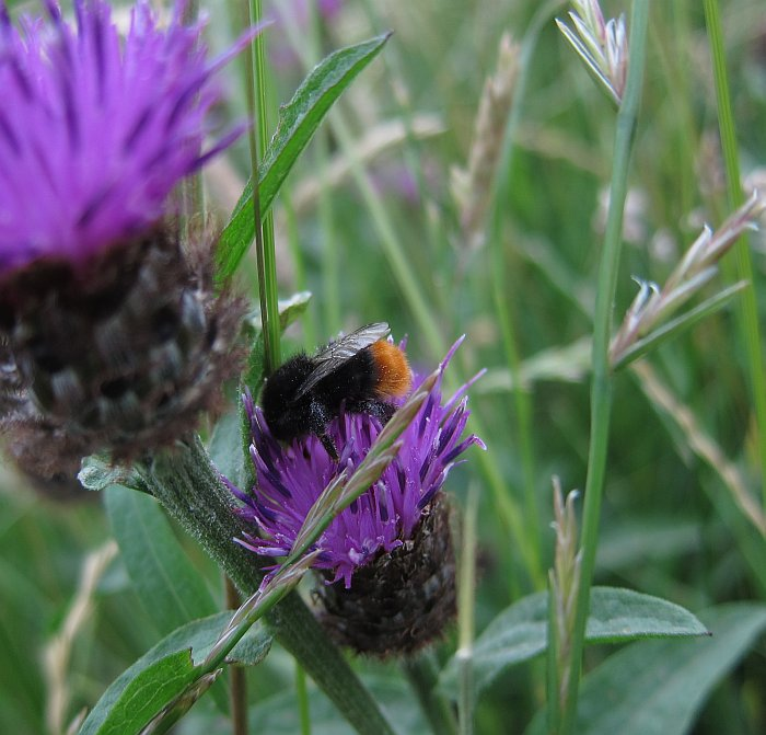 Red-tailed bumblebee on the surviving meadow, Walthamstow Marsh July 2103